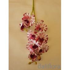 Guminė orchidėja, marga
