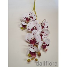 Guminė orchidėja. Marga