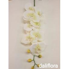 Šilkinė orchidėja. Spalva žalsva