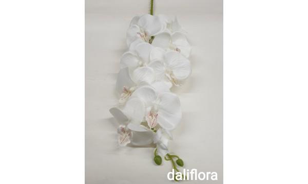 Orchidėja. Spalva balta